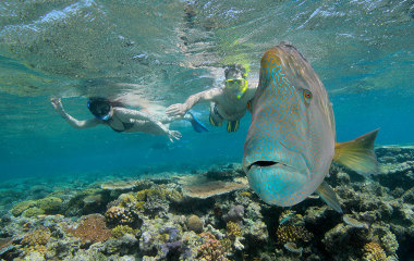 Humphead wrasse in the Great Barrier Reef