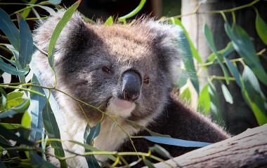 Koala at Adelaide Zoo