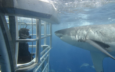 Swimming with great white sharks in Port Lincoln South Australia