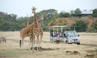 Outdoor Safari with giraffes and zebra at Werribee Zoo, Victoria
