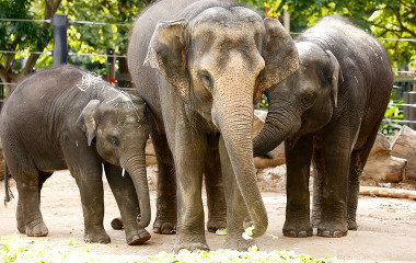 Group of elephants at Melbourne Zoo