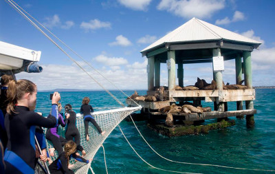 Swim with seals Mornington Peninsula