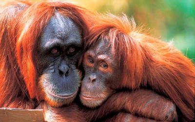 Perth zoo orangutangs