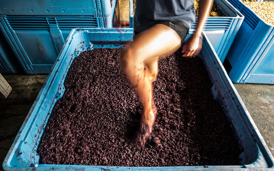 Urban Winery Sydney grape harvest and stomping