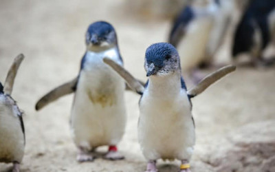 Featherdale penguin encounter with general admission