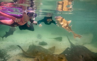 Snorkel with sharks and rays with shallows encounter
