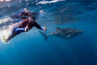 Person swimming alongside whale shark