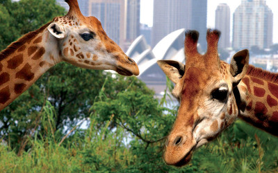 Giraffes at Taronga Zoo, Sydney