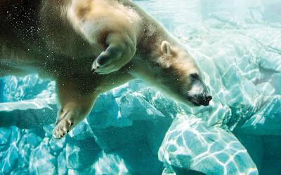 Polar bear at Sea World, Gold Coast