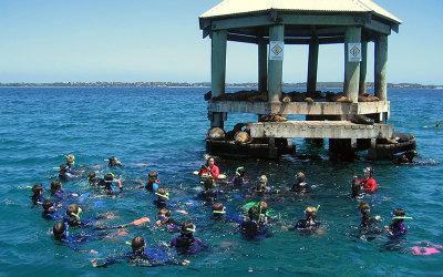 Swim with seals Port Phillip Bay
