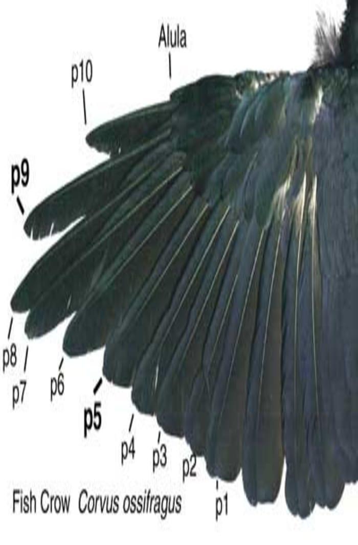 crow-wings