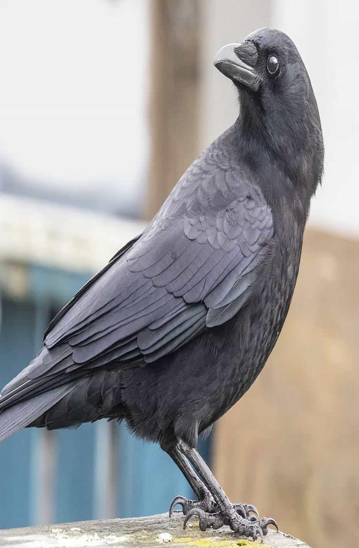crow-wings2