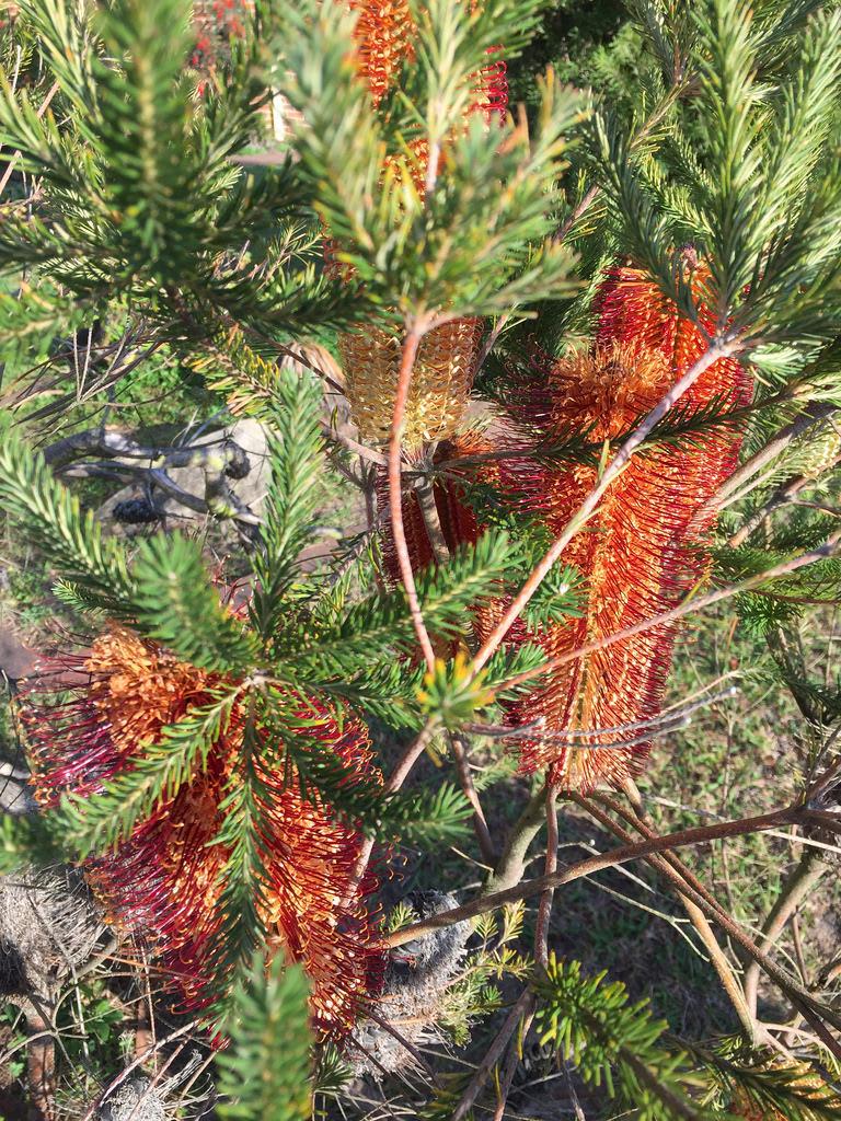 Banksia ericifolia / Red Wolf