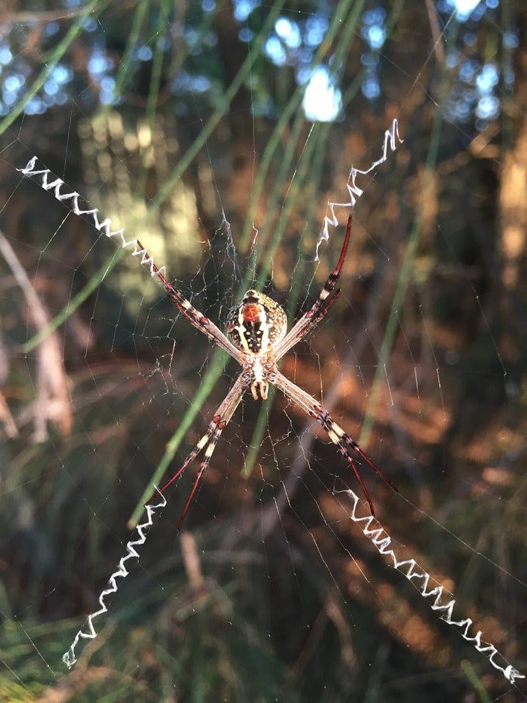 Golden Orb Weaver + St Andrew's Cross Spider / Red Wolf
