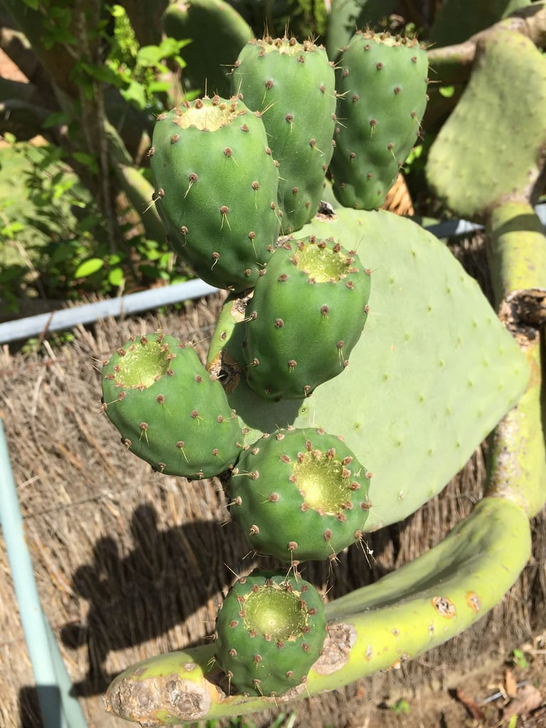 Prickly pear (Opuntia) / Red Wolf