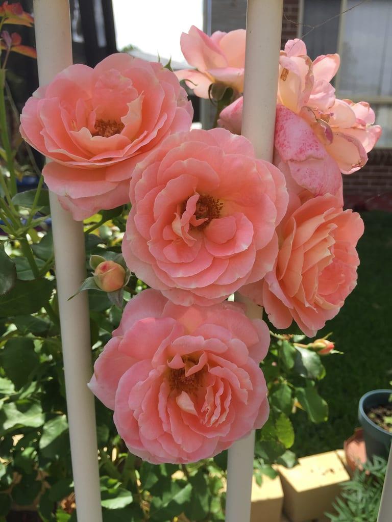 Pink Roses + Frangipani / Red Wolf