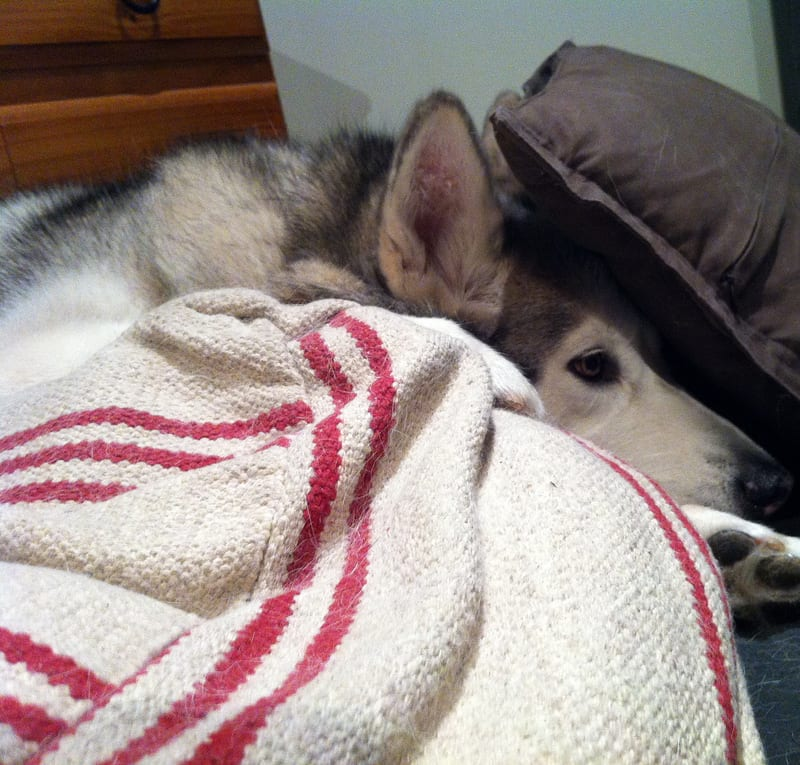 Hiding Under Cushions / Red Wolf