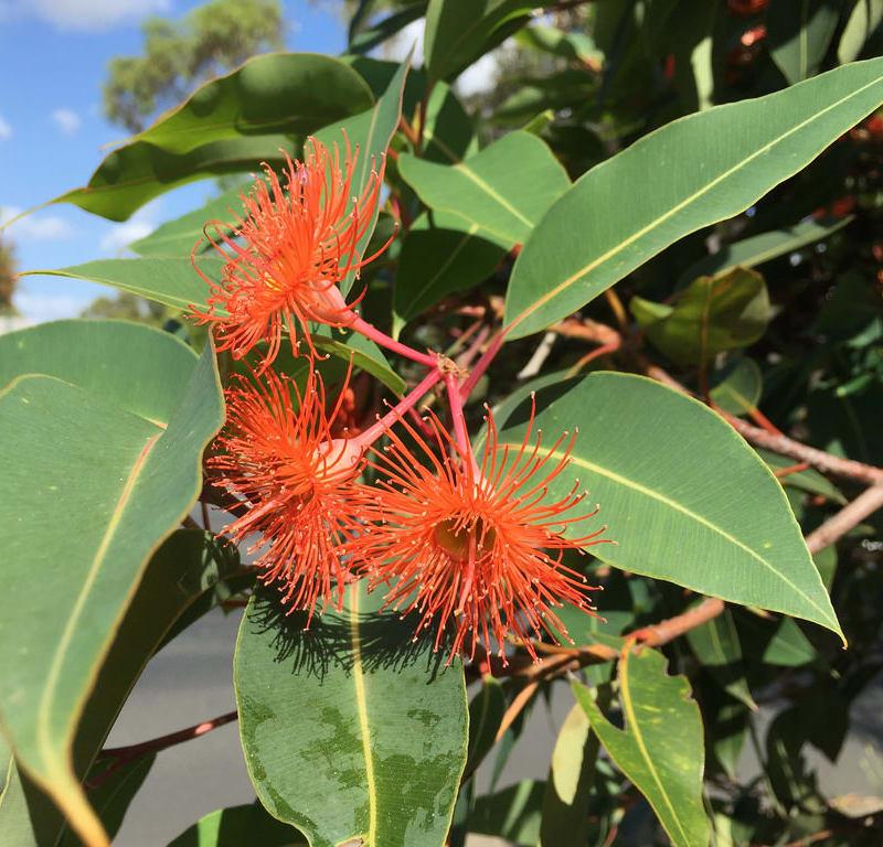 Flowering Gum (Corymbia ficifolia) / Red Wolf