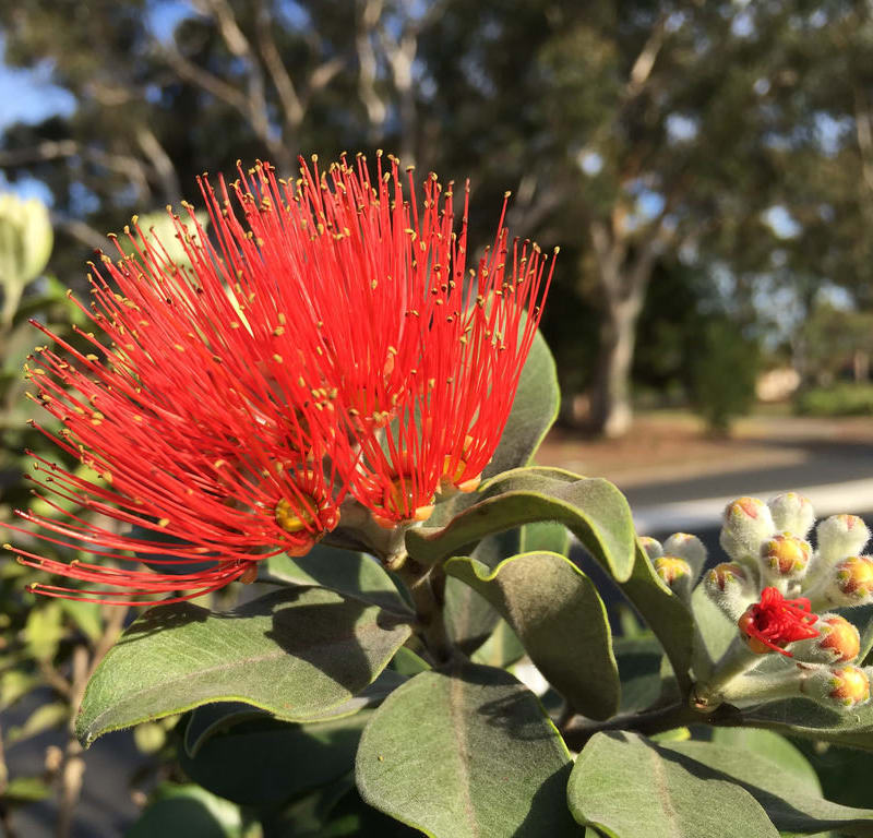 Red Flowering Gum (Corymbia ficifolia) / Red Wolf