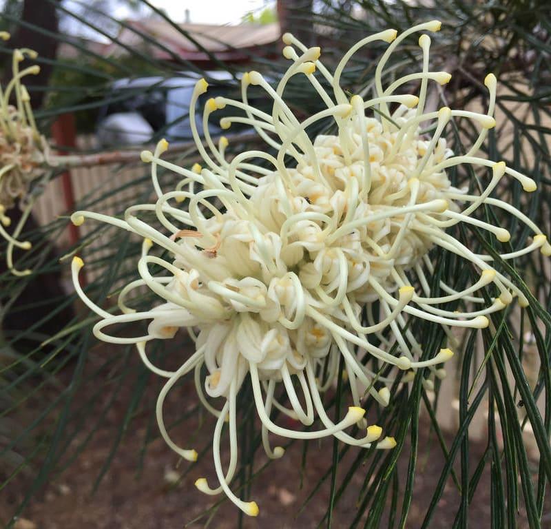 Cape Chestnut (Calondendrum capense) / Red Wolf