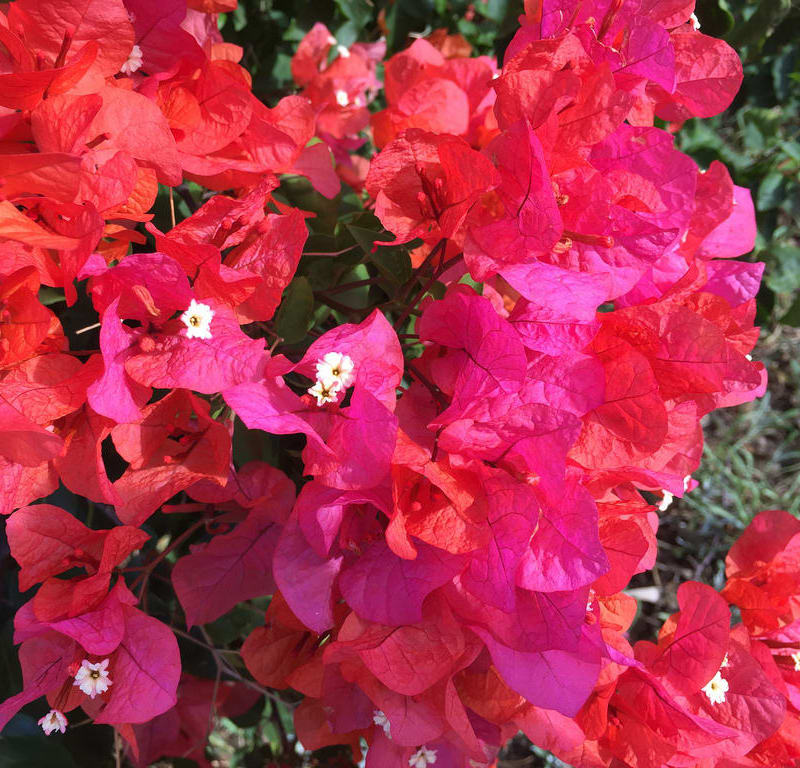 Red bougainvillea + Marigold / Red Wolf