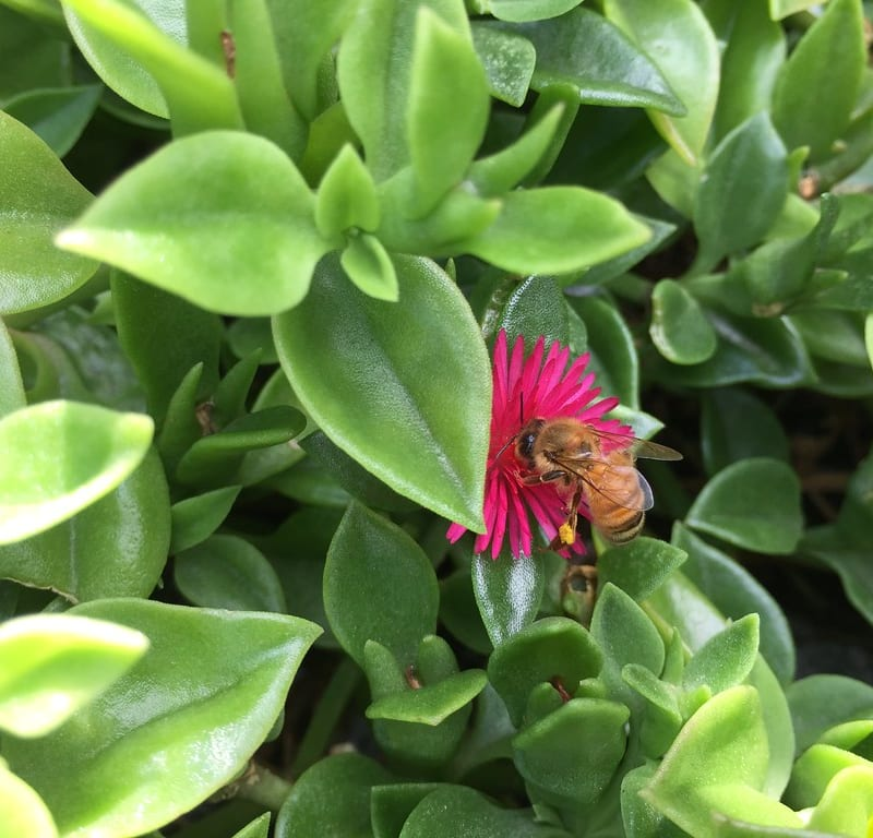 Bee on Aptenia cordifolia / Red Wolf