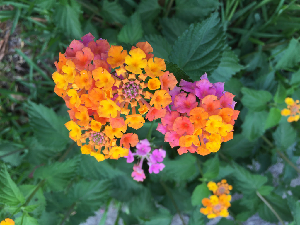Lantana + Purple Fountain Grass / Red Wolf
