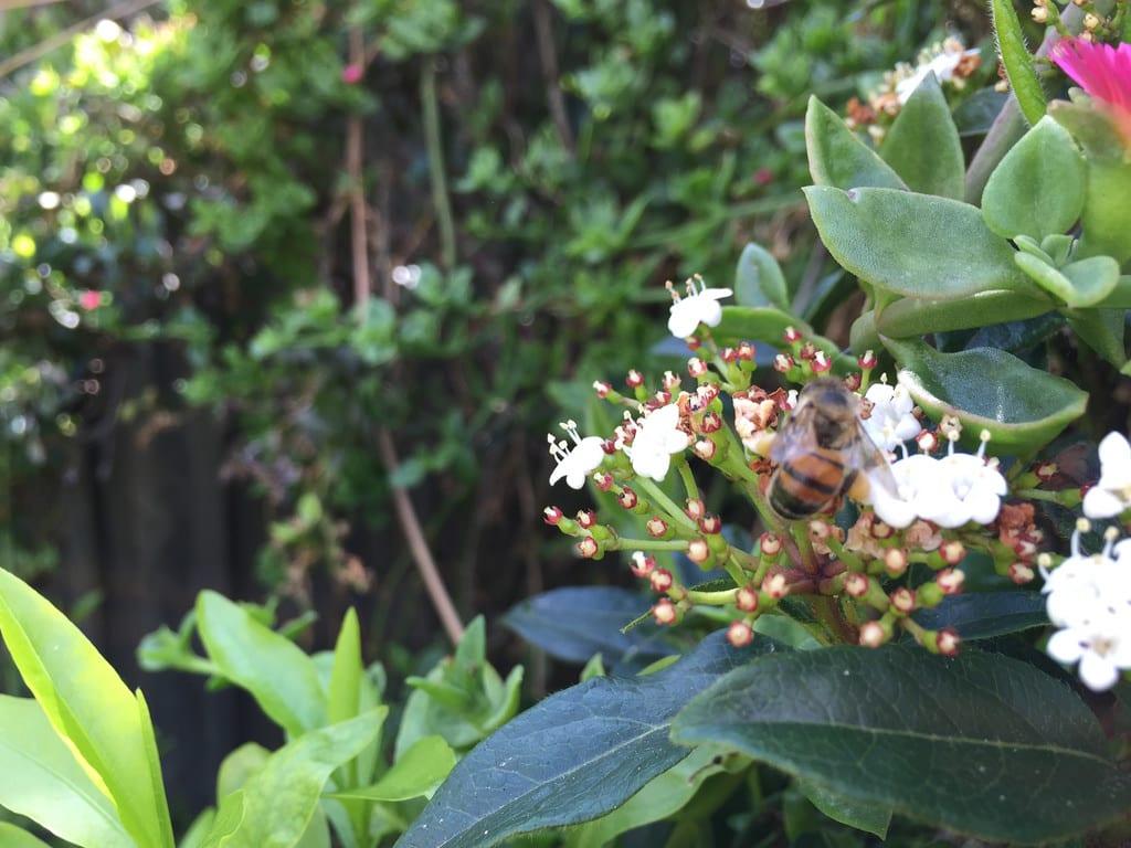 Aptenia cordifolia / Red Wolf