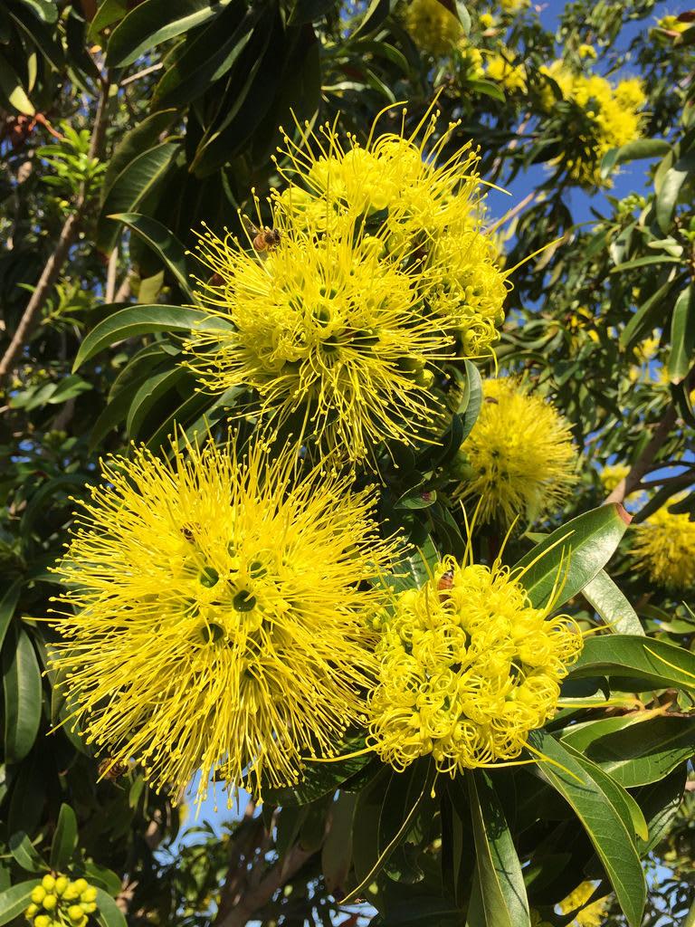 Golden penda tree (Xanthostemon chrysanthus) / Red Wolf
