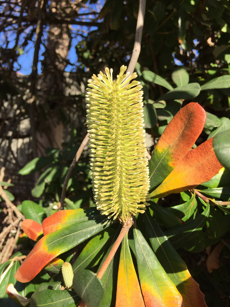 Coast banksia (Banksia integrifolia) / Red Wolf