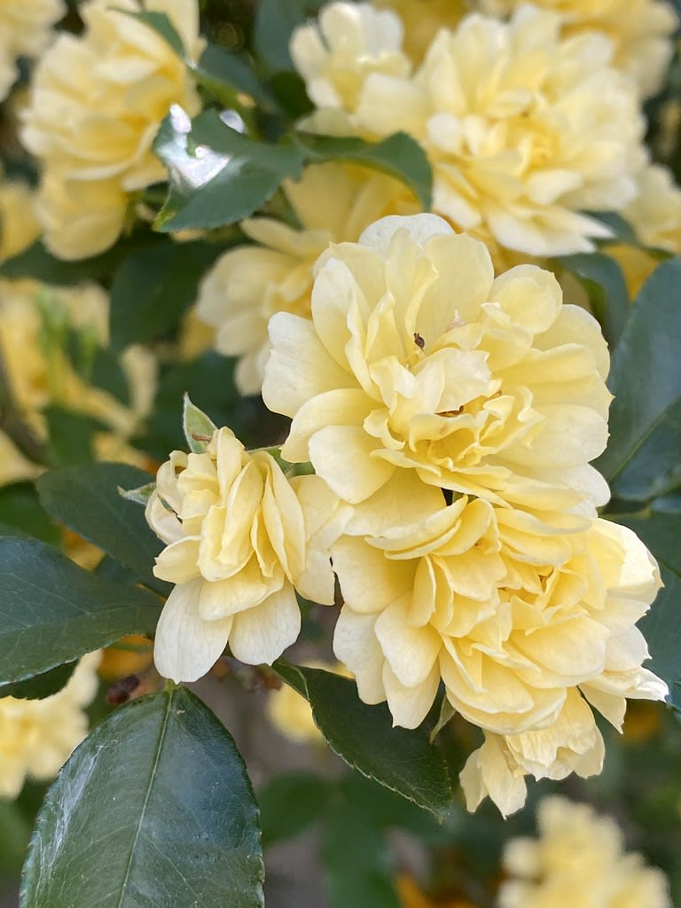 Yellow Gardenia + White Azalea / Red Wolf