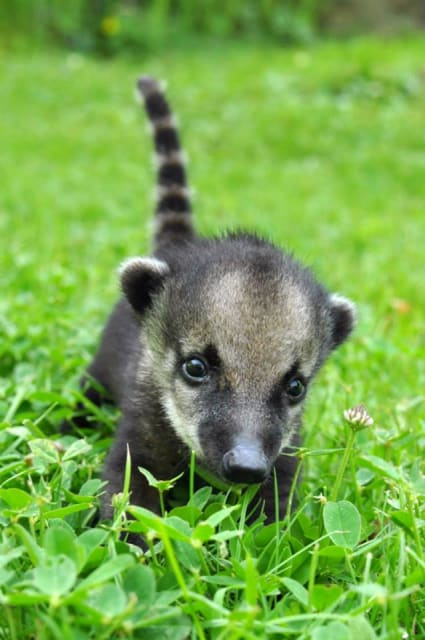 South American Coati Pups / Zoo Budapest
