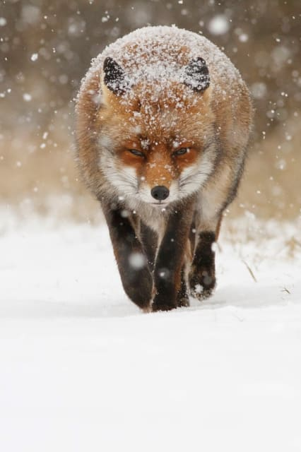 Snow Fox / Roeselien Raimond