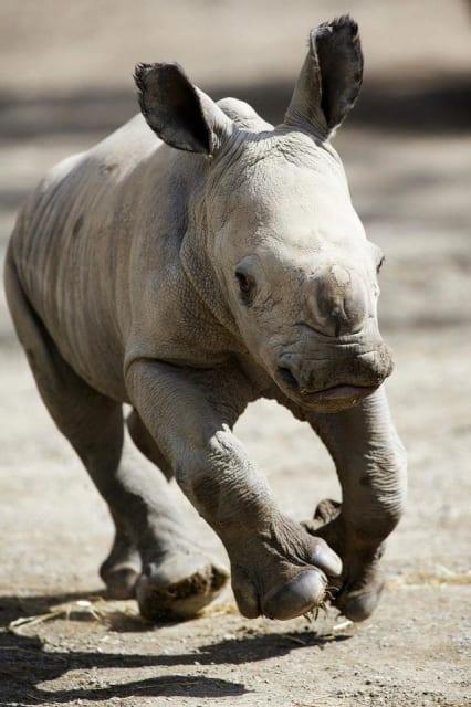 Southern White Rhinoceros / Dublin Zoo