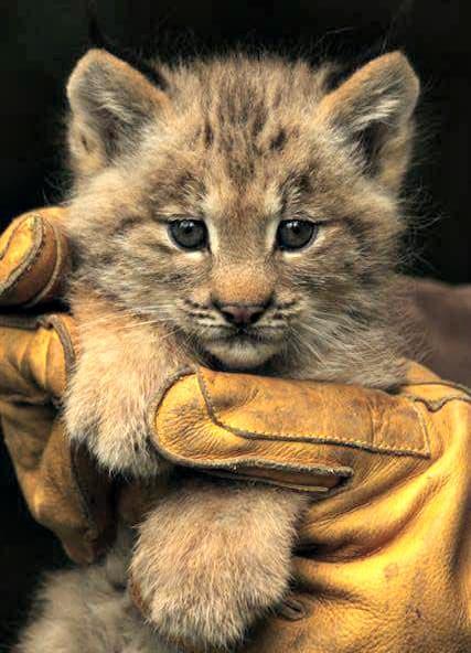 Canadian Lynx Triplets / Zoo Brno