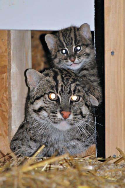 Fishing Cat / Parken Zoo