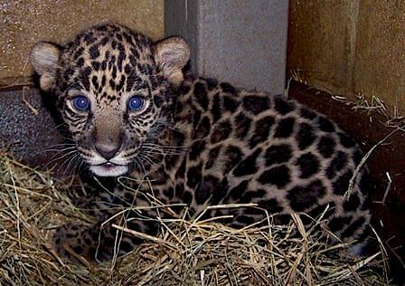 Jaguar Cub / Brevard Zoo