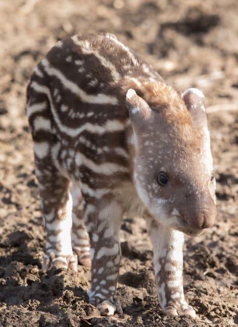 Inca, Brazilian Tapir / Howletts Wild Animal Park