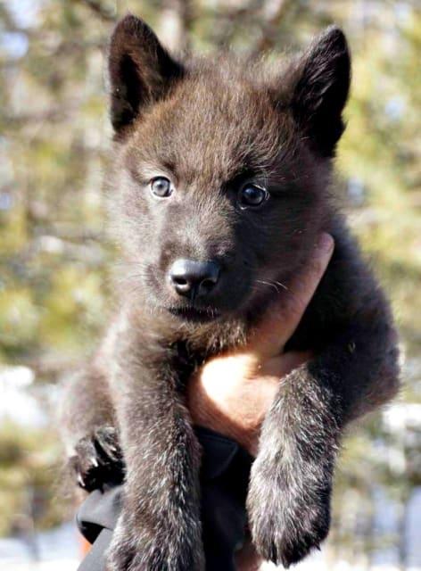 Kenyi, British Columbian Tundra Wolf Pup / Colorado Wolf and Wildlife Centre