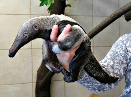 Giant Anteater / Warsaw Zoo