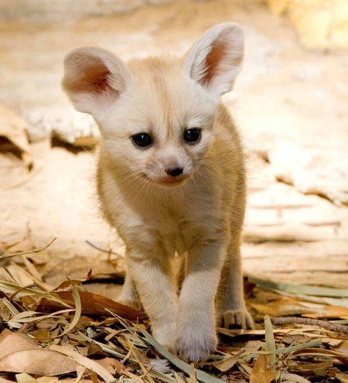 Fennec Foxes / Taronga Zoo
