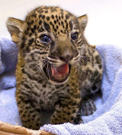 Two Baby Jaguars / Milwaukee County Zoo