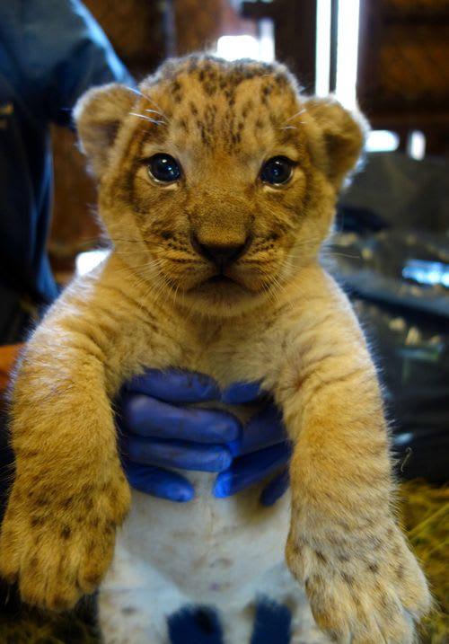 Transvaal Lion Cubs / Honolulu Zoo