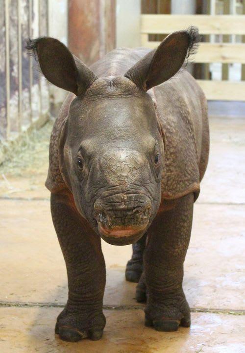 Indian Rhinoceros, Bys / Warsaw Zoo