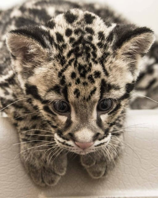 Clouded Leopard Cubs / Smithsonian Conservation Biology Institute Front Royal