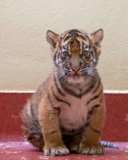 Sumatran Tiger / San Francisco Zoo