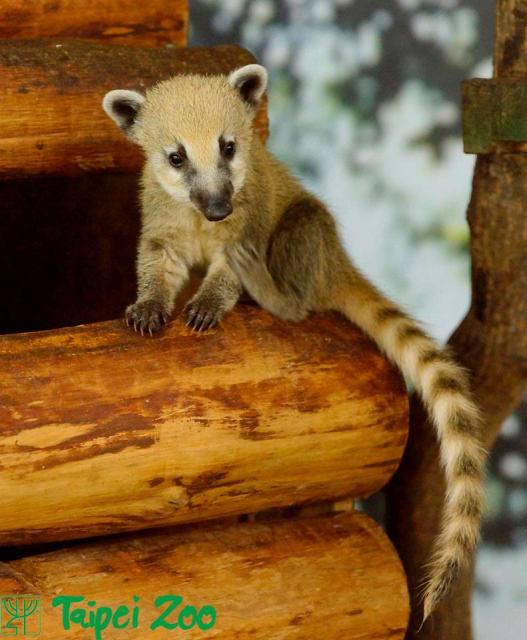 South American Coatis / Taipei Zoo