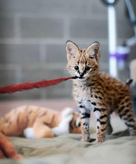 Sheldon, Serval Cub / Point Defiance Zoo