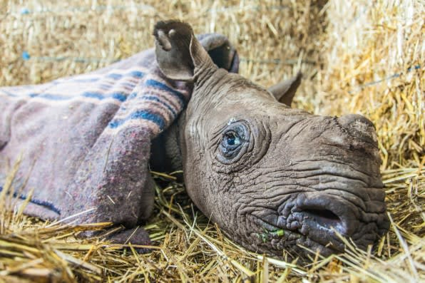 Caring for Nicky, the Blind Baby Rhino
