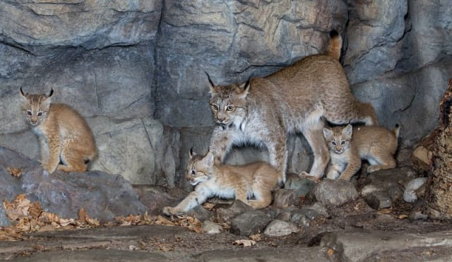 Lynx Kitten / Espace Pour La Vie Biodôme
